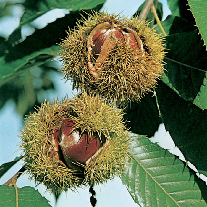 Chestnut April Gold  ] 1386190250 - Flower Power