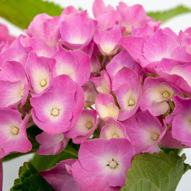 Hydrangea Pink Ball  ] 1424760200P - Flower Power