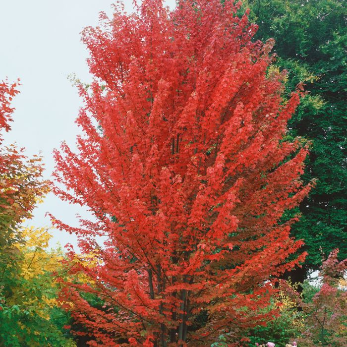 Acer Autumn Blaze  ] 1435420300 - Flower Power