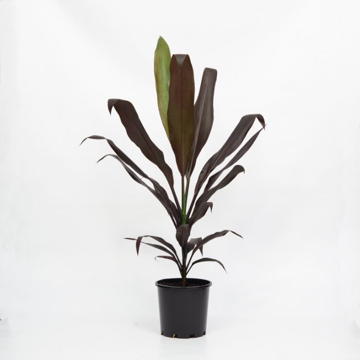 Cordyline Negra  ] 144496P - Flower Power