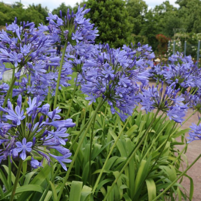 Agapanthus Blue  ] 1477500200P - Flower Power