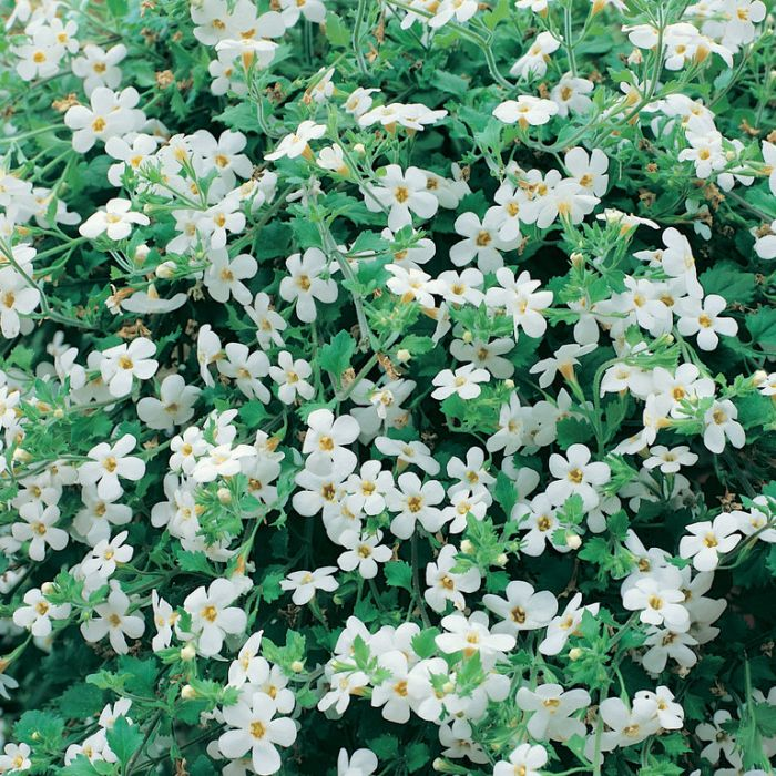 Sutera cordata 'Colossal White' Hanging Basket  ] 1485420020P - Flower Power