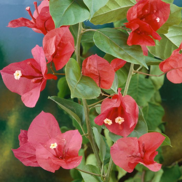 Bougainvillea Scarlet O'Hara  ] 1506870140P - Flower Power