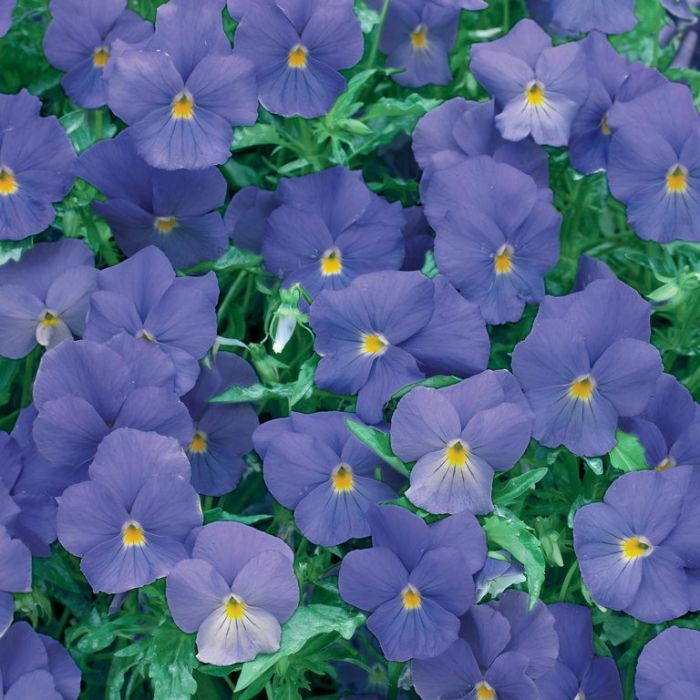 Viola Friolina Aquamarine Hanging Basket  ] 1521410020P - Flower Power