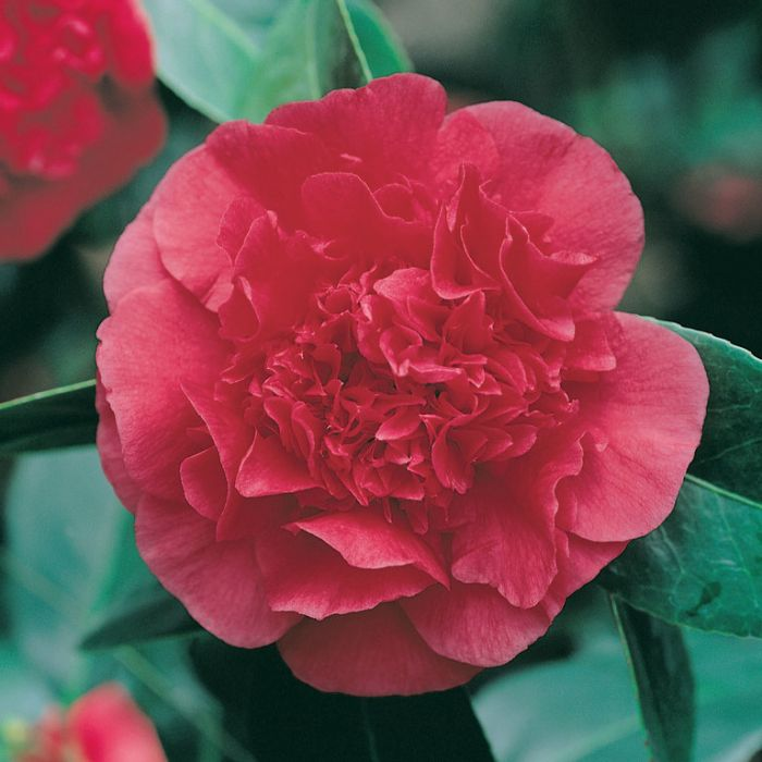 Camellia Japonica Grand Marshall  ] 1527390140P - Flower Power