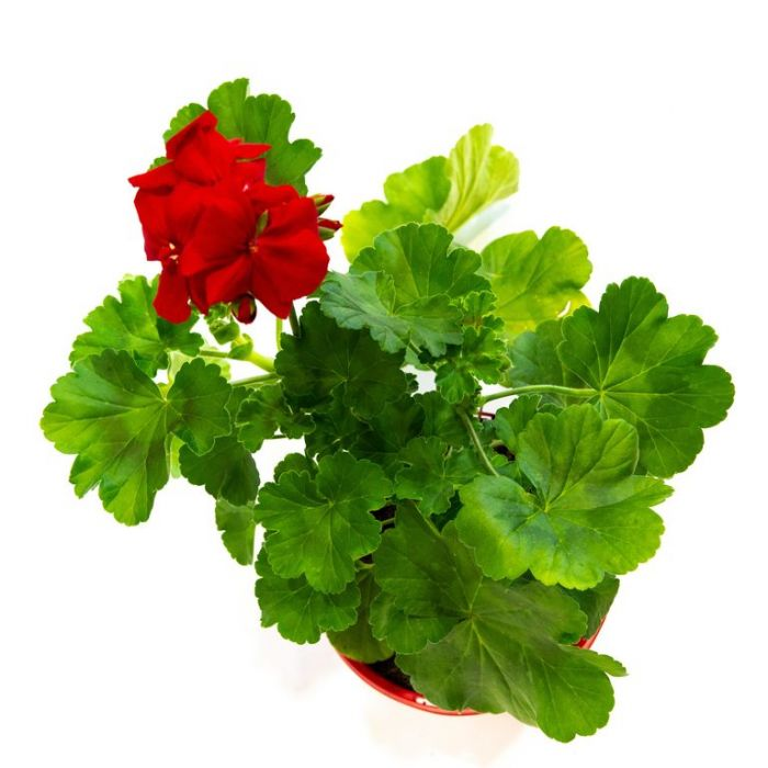 Geranium Big Red  ] 1528980155 - Flower Power