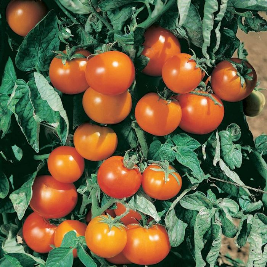 Tomato Orange Pixie  ] 1539340100 - Flower Power