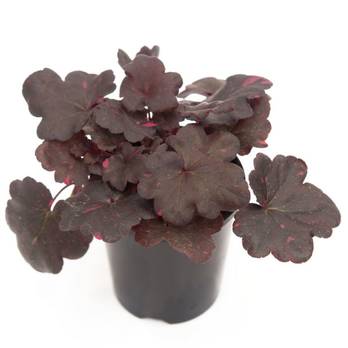Heuchera Midnight Rose  ] 1550640140 - Flower Power