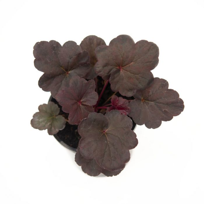 Heuchera Obsidian  ] 1550650140 - Flower Power
