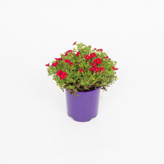 Calibrachoa Callipetite Red  ] 1551860140 - Flower Power