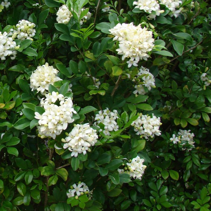 Murraya paniculata  ] 1563300190P - Flower Power