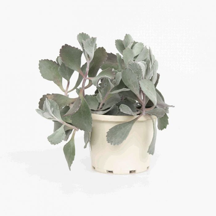 Kalanchoe Quicksilver  ] 1571590130P - Flower Power