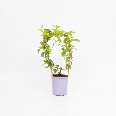 Bougainvillea Bambino Nonya  ] 1579400140P - Flower Power