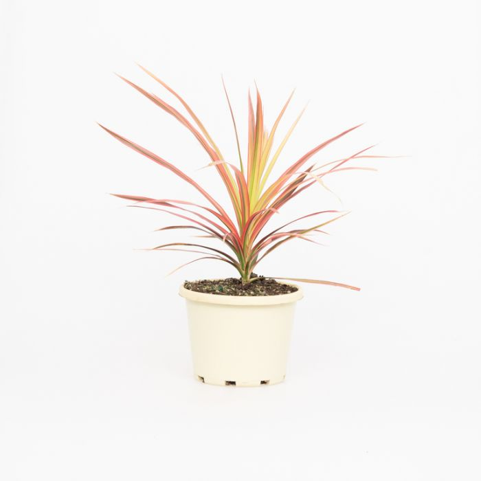Dracaena 'Colorama'  ] 1586840130P - Flower Power