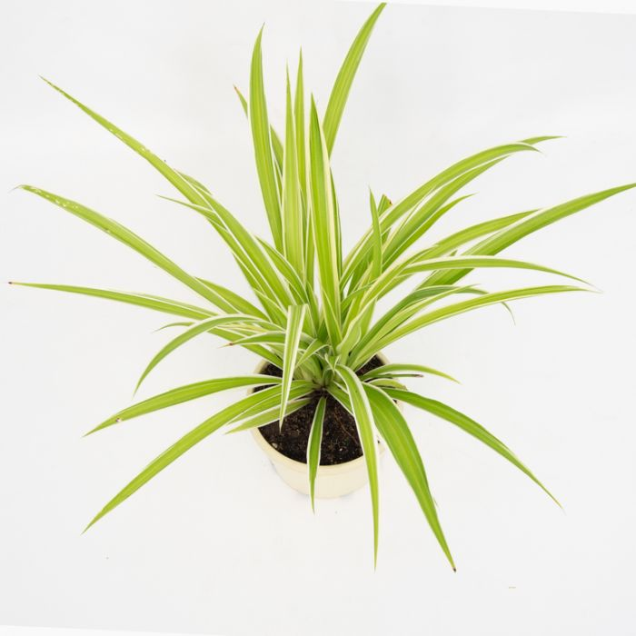 Spider Plant  ] 1590050125P - Flower Power
