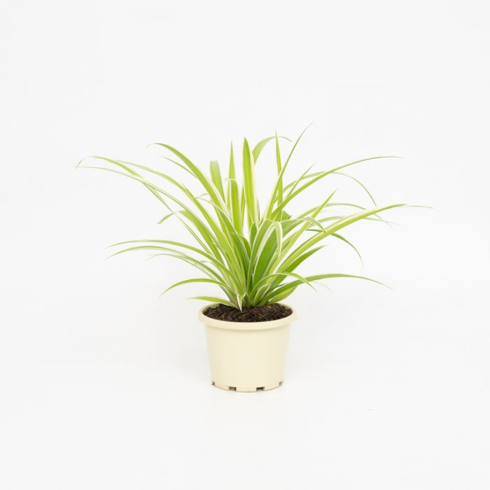 Spider Plant  ] 1590050130 - Flower Power