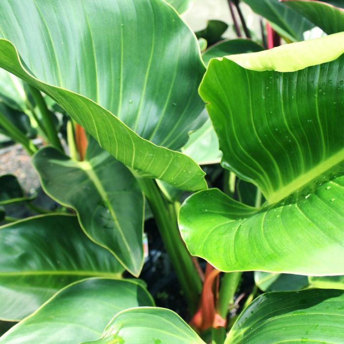 Congo Philodendron  ] 1590870130P - Flower Power