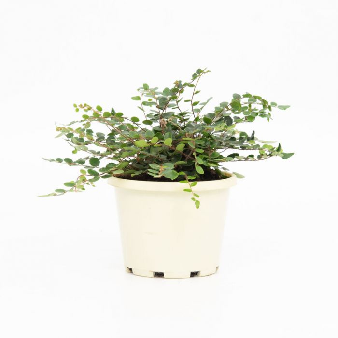 Button Fern  ] 1590910130P - Flower Power