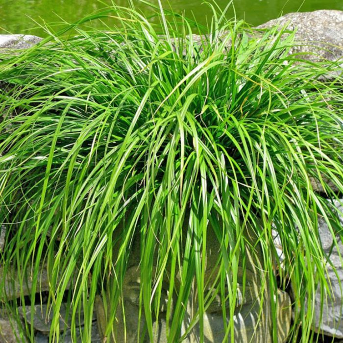 Carex Evergreen  ] 1603870140 - Flower Power