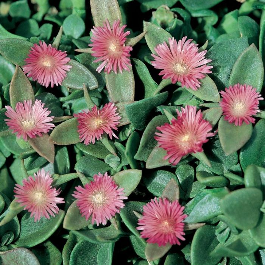 Aptenia Cordifolia  ] 162584 - Flower Power