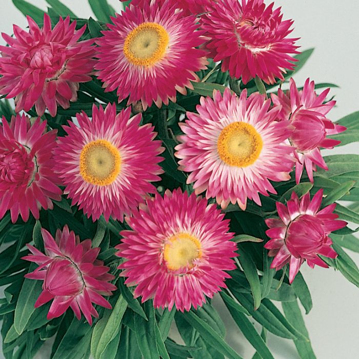 Bracteantha Jumbo Red  ] 1629400140 - Flower Power