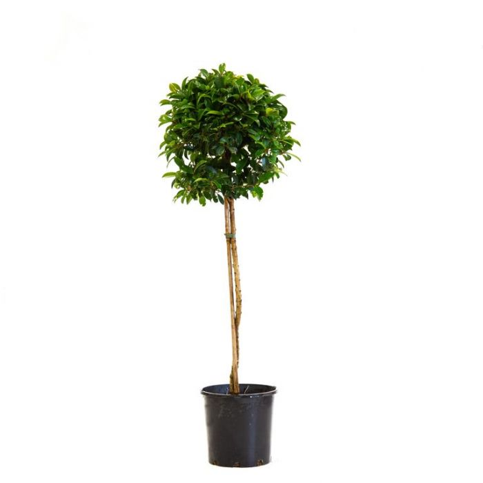 Lilly Pilly Select Form Topiary Standard  ] 163655P - Flower Power