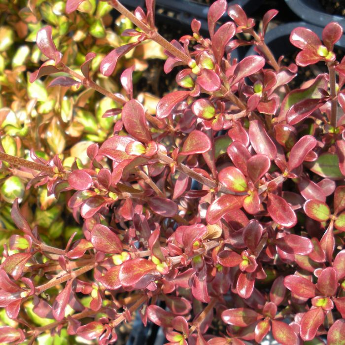 "Coprosma repens ""Royale""  ] 1636620200 - Flower Power"