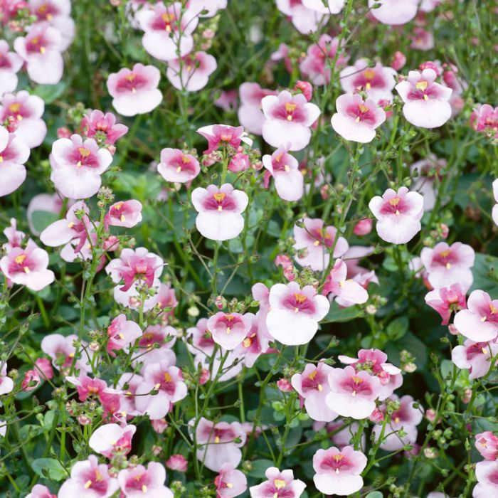Diascia Picadilly Appleblossom  ] 1636640140 - Flower Power