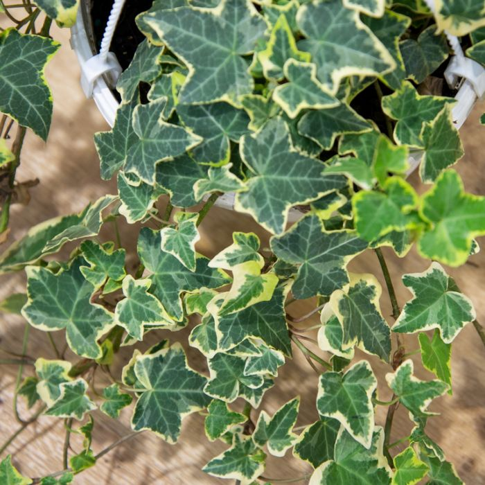 Hedera 'Cascade Gold' Hanging Basket  ] 1637560017P - Flower Power