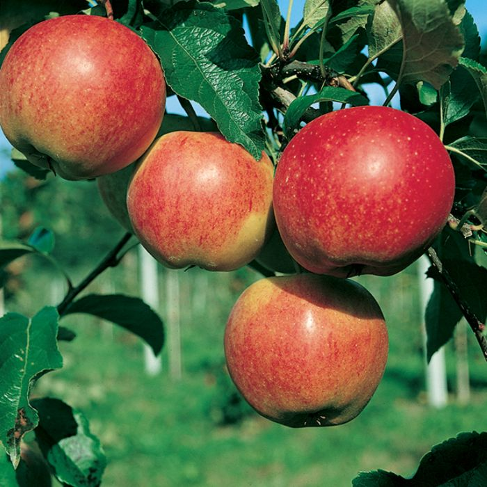 Apple Gala Dwarf  ] 1638220250 - Flower Power