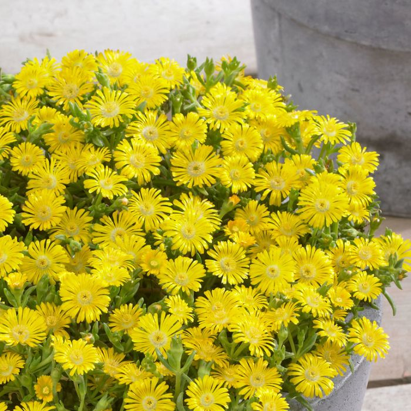 Delosperma Wheels of Wonder Golden  ] 1648340140 - Flower Power