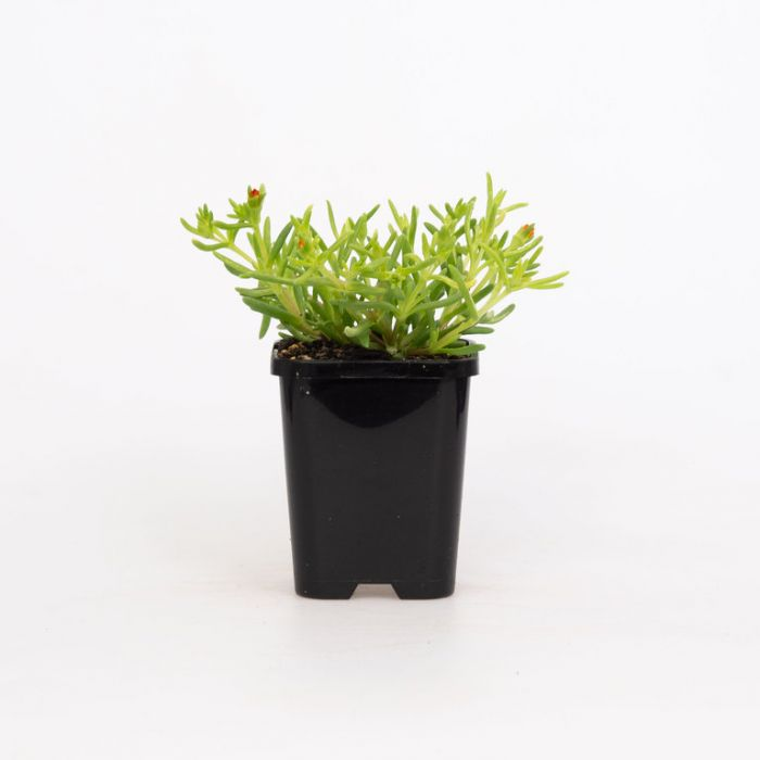 Delosperma Orange  ] 1648360085 - Flower Power