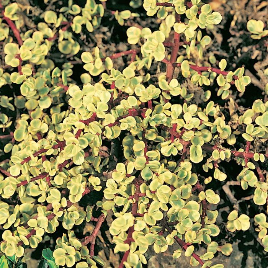 Variegated Jade  ] 1649120100P - Flower Power