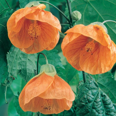Abutilon Lucky Lantern Tangerine  ] 1650500140 - Flower Power