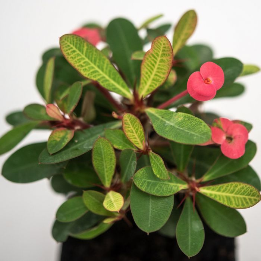 Euphorbia millii Pink  ] 1656160100P - Flower Power