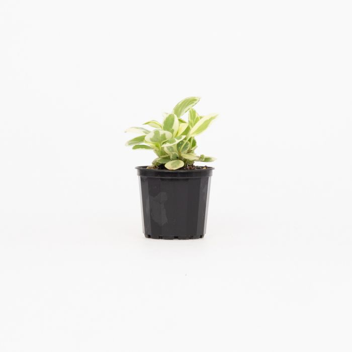 Baby Rubber Plant  ] 1663500070 - Flower Power