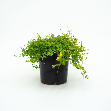 Mecardonia Magic Carpet Yellow  ] 1679160140 - Flower Power