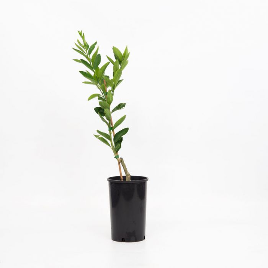 Tahitian Lime  ] 1683500165P - Flower Power