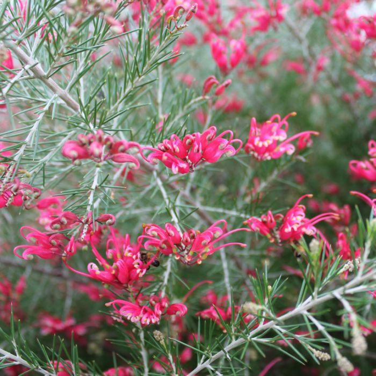 Grevillea Crimson Villea  ] 1693040200 - Flower Power
