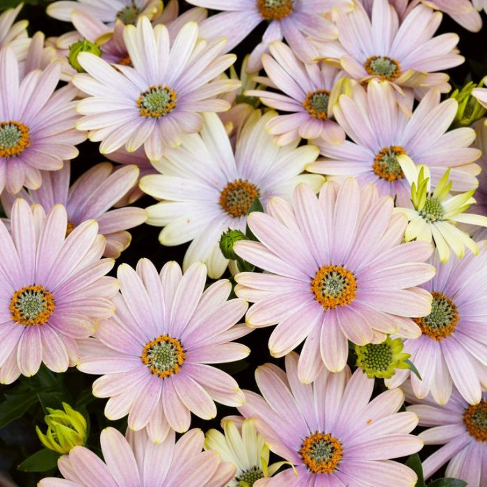Osteospermum Serenity Sunset  ] 1718870140 - Flower Power