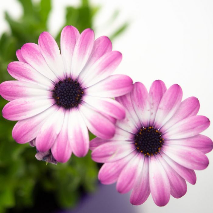 Osteospermum Power Packed Light Pink  ] 1718910140 - Flower Power