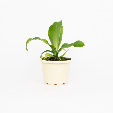 Happy Plant  ] 1719800130P - Flower Power
