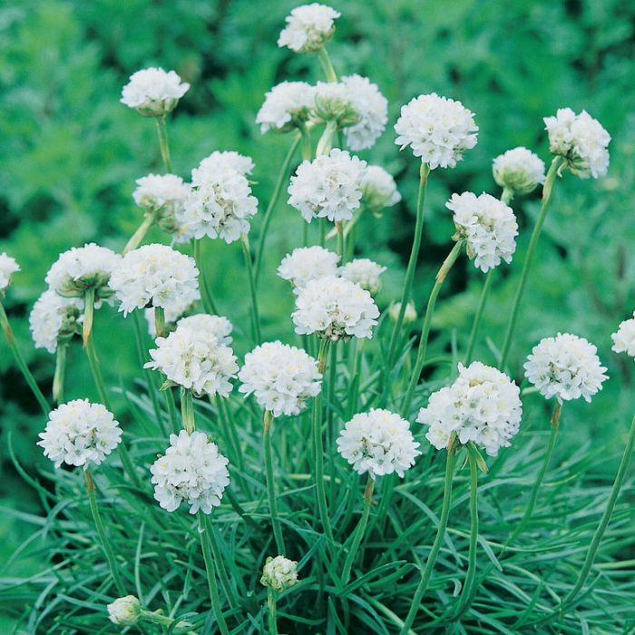 Armeria Morning Star White  ] 1728960140 - Flower Power