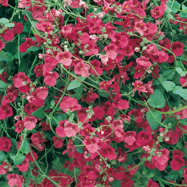Diascia Piccadilly Dark Red  ] 1728980140 - Flower Power