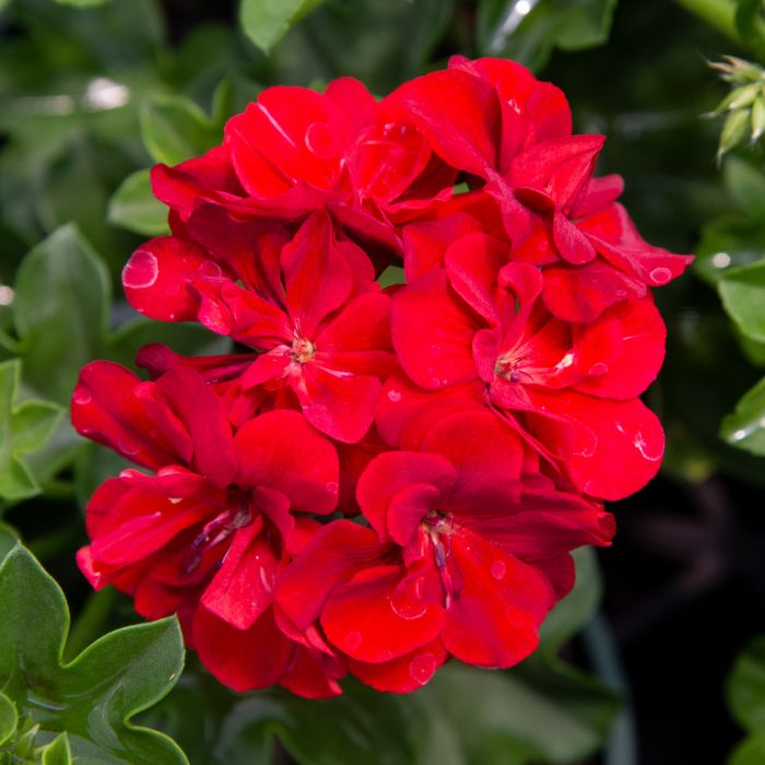 Geranium Great Balls Of Fire Dark Red  ] 1729180140 - Flower Power
