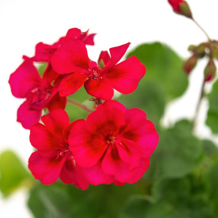 Geranium Fantasia Cranberry Sizzle  ] 1729230140 - Flower Power