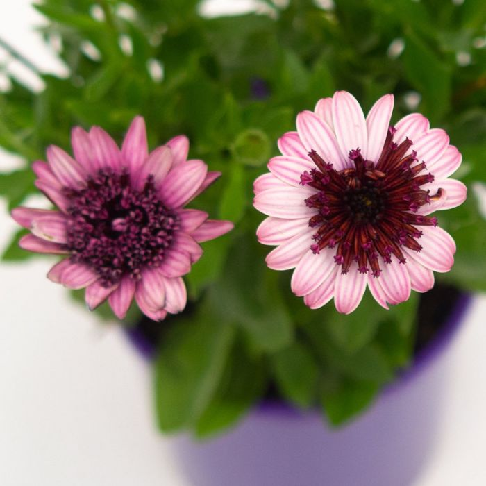 Osteospermum 3D Raspberry  ] 1729300140 - Flower Power