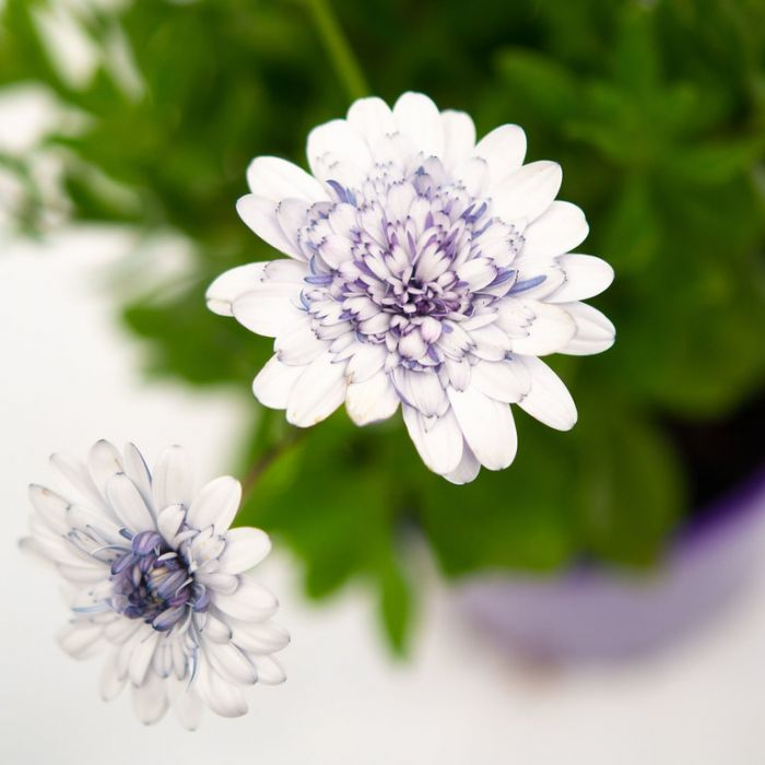 Osteospermum 3D Blueberry  ] 1729310140 - Flower Power