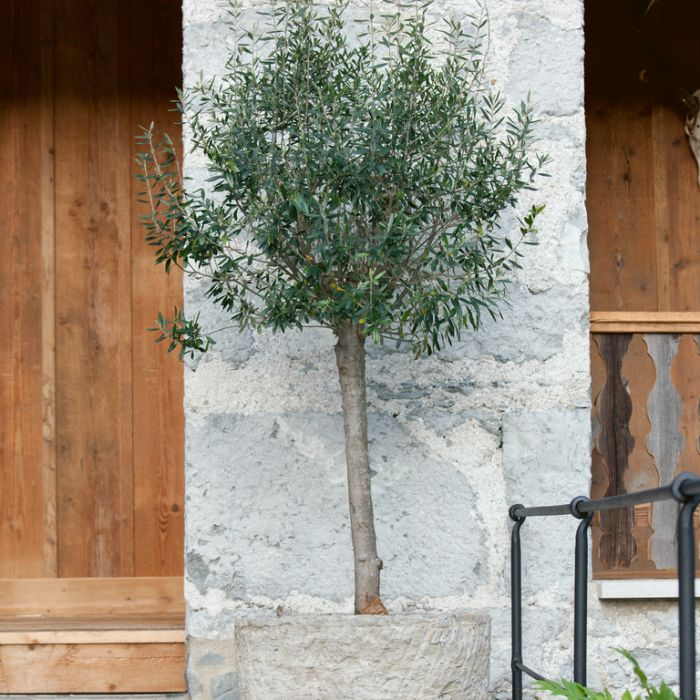 Olive Mission Topiary Standard  ] 1729910400 - Flower Power