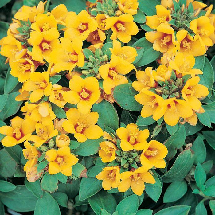 Lysimachia Gold Clusters  ] 173673 - Flower Power